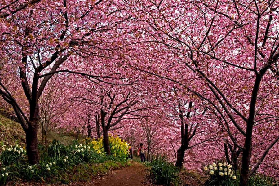 撮影:日向喜一郎  「2日ほどの暖かさで君津にも河津桜咲ました」  撮影場所:君津市