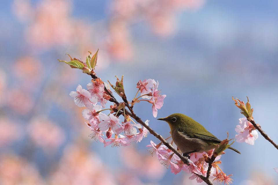 撮影:長嶋徹 「鳥と早桜」 君津市